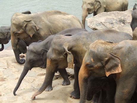 Elephants at Pinnawala Sri Lanka