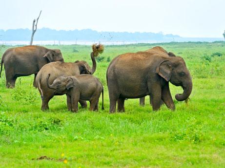 Elephants at Udawalawe Sri Lanka